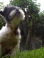 Roxie, chien Shih Tzu