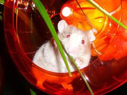 Roxie, rongeur Hamster