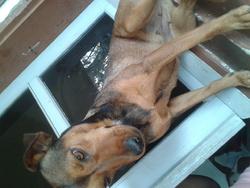 Roxie, chien Pinscher