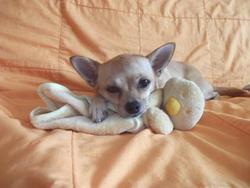 Roxie, chien Chihuahua