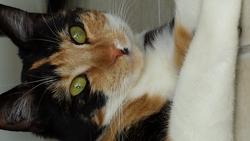 Roxie, chat Européen