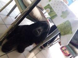 Roxie, chien Cocker anglais