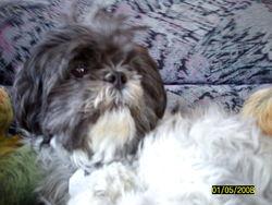 Roxxy, chien Shih Tzu