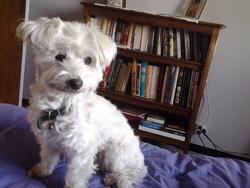 Roxy , chien Coton de Tuléar