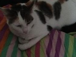 Roxy, chat Européen