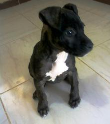 Roxy, chien American Staffordshire Terrier