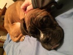 Roxy, chien Boxer