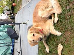 Roxy, chien Golden Retriever