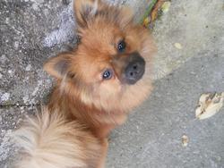 Roxy, chien Spitz allemand