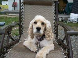 Roxy, chien Cocker américain