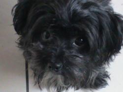 Roxy, chien Bichon à poil frisé
