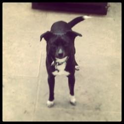 Roxy, chien Pinscher