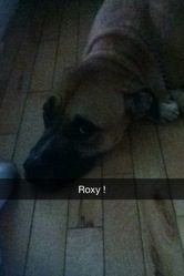 Roxy, chien Cane Corso