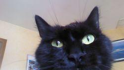 Roxy, chat Angora turc