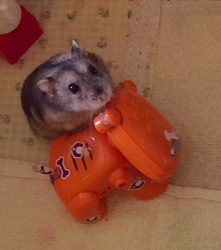 Roxy, rongeur Hamster