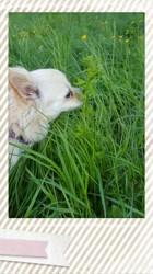 Roxy, chien Chihuahua