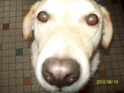 Roxy, chien Labrador Retriever