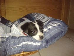 Roxy, chien Jack Russell Terrier