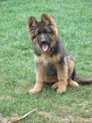 Roxy, chien Berger allemand