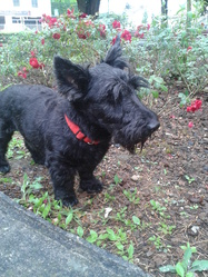Roxy, chien Scottish Terrier