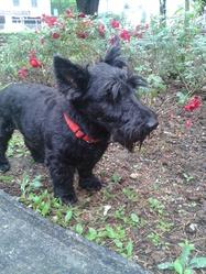 Roxy, chien Scottish Terrier