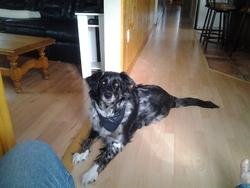 Roxy, chien Berger australien