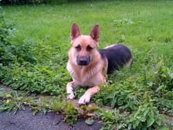 Roy, chien Berger allemand
