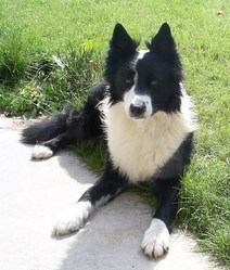 Roy, chien Border Collie
