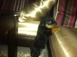 Roy, chien Rottweiler