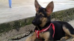 Royce, chien Berger allemand