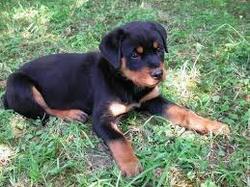 Roza, chien