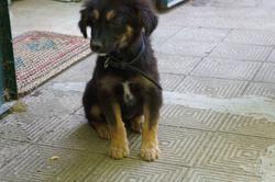 Roza, chien Berger allemand