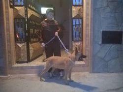 Roza, chien Berger belge