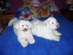 Rubby, chien Bichon maltais