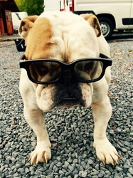 Rubby, chien Bulldog