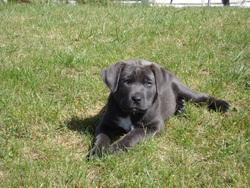 Ruben, chien Labrador Retriever