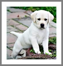 Rubi, chien Labrador Retriever