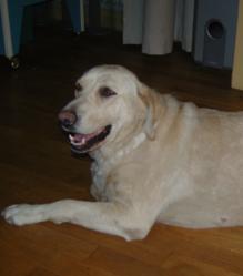 Rubia, chien Labrador Retriever