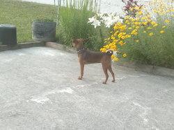 Rubie, chien Chihuahua