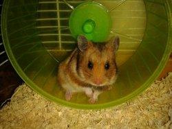 Rubie, rongeur Hamster