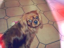 Rubis, chien Cavalier King Charles Spaniel