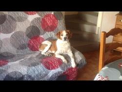 Rubis, chien Épagneul breton
