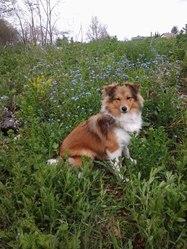 Rubis , chien Berger des Shetland