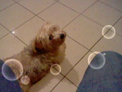 Rubis, chien