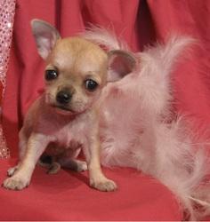 Rubis, chien Chihuahua