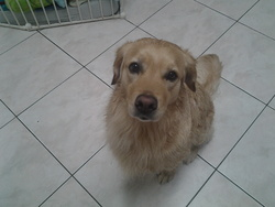 Rubis, chien Golden Retriever