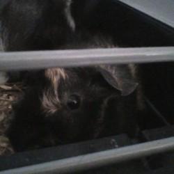 Rubis, rongeur Cochon d'Inde