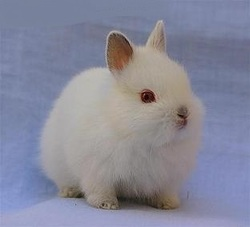Ruby, rongeur Lapin