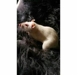 Rubis, rongeur Rat