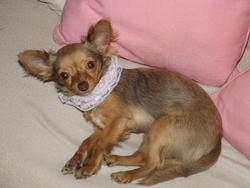 Ruby, chien Chihuahua